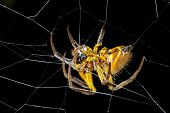 Amazonian orb-web spider