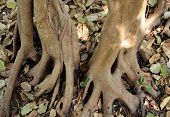 The Roots Of A Banyan Tree