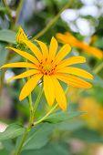 Jerusalem artichokes, herb for a healthy choice for diabetics