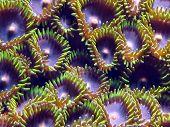 Coral Polups