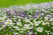 Blossoming Summer Meadow With Daisies