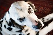 Dalmatian Close-up