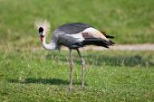 Grey-necked Crowned Crane
