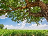 stock photo of cassava  - Tree in cassava field on blue sky background - JPG
