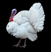 gobbler animal bird