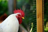 Rooster By Plastic Mesh Fence In The Farmyard
