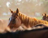 pic of fillies  - British horse portrait against a background of the horses in the herd on the farm closeup - JPG