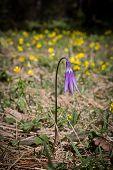 Snowdrop Flower, Primrose, Spring Flower.