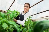 Young agriculture woman engineer checking tomato crop in greenhouse