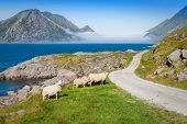 Sheep Walking Along Road. Norway Landscape