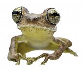tree frog of tropical Amazon rainforest, this tree frog Hypsiboas fasciatus has huge eyes and lives