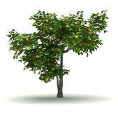 Single Apricot Tree