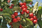 Rowanberry By Autumn