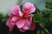 Flower Of Impatiens