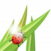Ladybug An A Blade Of Grass, Illustration