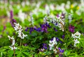 Meadow With Corydalis Flowers Of Different Colors