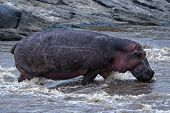 Hippopotamus cross the river