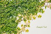 Ficus Pumila Leaves Wall Background