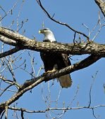 Bald Eagle sitting on branch