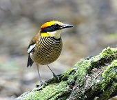 Beautiful Female Of Banded Pitta Bird (pitta Guajana) Standing On The Mossy Log
