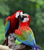 foto of green-winged macaw  - Best shot of kissing sweet macaw green - JPG