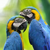 Pair Of Blue And Yellow Macaw About To Kiss Each Other With Nice Blur Green Background, Macaw Bird