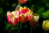 stock photo of frilly  - Grouping of Frilly Tulips with Verdant Green Background