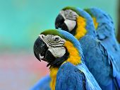 Portrait Of 3 Ue And Yellow Macaw, Blue And Golden Macaw, Macaw Bird In Nice Portrait Shot
