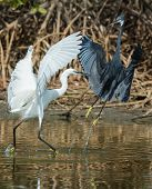 foto of good-vs-evil  - A white Western Reef Heron  - JPG