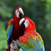image of green-winged macaw  - Sweet hugging Green - JPG