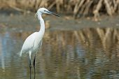 A White Western Reef Heron (egretta Gularis) Standing In The Mangroves