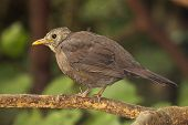 Blackbird Hunched Up