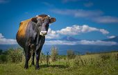Bull Or Cow Standing With Blue Sky And Clouds. High definition image.
