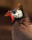 image of guinea fowl  - A male Helmeted Guinea Fowl in breeding plumage.