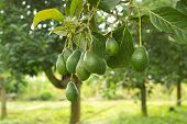 image of avocado tree  - avocados growing on a tree - JPG