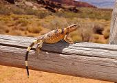 Colorful lizard on a fence post in a desert landscape