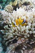 Red Sea Anemone Fish