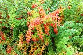 The berries of barberry