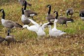 pic of snow goose  - Snow geese gosling Chen caerulescens stretching its wings in field during fall migration - JPG