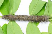 picture of moth larva  - Caterpillar of brown lappet moth Gastropacha pardale - JPG