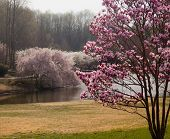 stock photo of japanese magnolia  - Colorful magnolia tree in the foreground with cherry blossoms surrounding a lake - JPG
