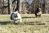 two english bulldogs playing catch with a tennis ball