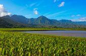 Kauai taro fields