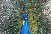Indian Blue Peacock