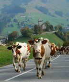 marching cattle