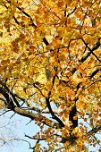 Yellow Crown Of Maple Tree In Autumn