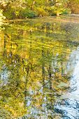 Yellow Trees Reflected In Water Of Pond