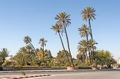 Palm Trees In Marrakesh