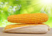 ripe ears of corn
