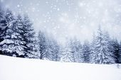 picture of fir  - Christmas background with snowy fir trees  - JPG